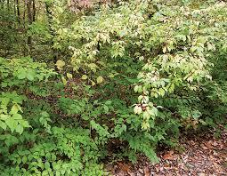 native plants of china bush honeysuckles control missouri department of conservation