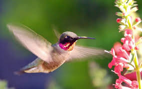 hd hummingbird wallpapers wallpaper wiki