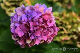 purple hydrangea pretty pink or brilliant blue how to make your hydrangea change