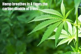 marijuana facts interesting facts about marijuana 2018 facts daily