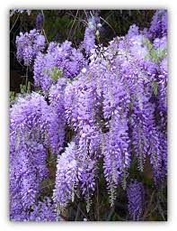 wisteria meaning lessons from a wisteria vine susan miller blog