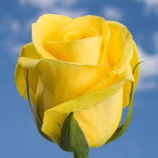 global roses 201 best roses all kinds of different followers s these are