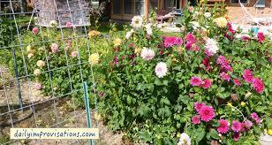 fun flowers to grow from seed simple tall dahlias
