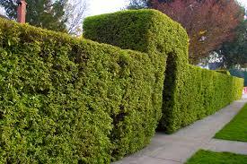 best shrubs for privacy lovetoknow