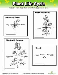 plant life cycle worksheet education com