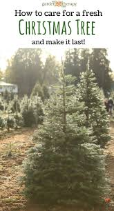 how to care for a fresh christmas tree fresh christmas trees