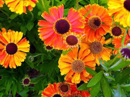 a great ornamental plant with sneezeweed your garden blooms all