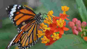 monarch butterflies winter population dropped again in mexico