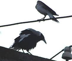 Magpie Birds In Backyards Go Away Magpie Birds In Backyards