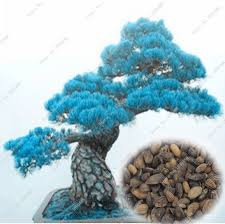 aliexpress buy 1pack 50pcs seeds picea blue spruce tree in