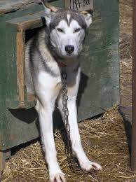 dog houses healthy sled dogs
