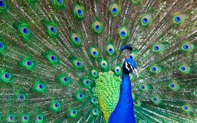 peacock the most beautiful good looking bird newsread in
