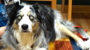 australian shepherd kidney disease progressive retinal atrophy pra genetic testing animalabs