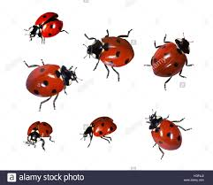 ladybugs coccinellidae stock photo royalty free image 130639994