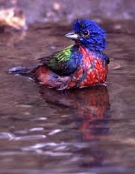 How To Attract Indigo Buntings To Your Backyard Painted Buntings Passerina Ciris How To Attract This Colorful