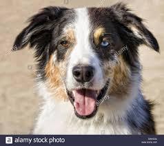 australian shepherd b c dog australian shepherd aussie puppy stock photos u0026 dog australian