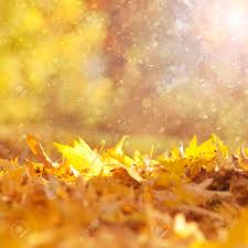 beautiful sunny and rainy yellow color autumn season leaves with