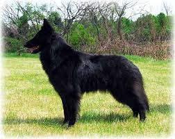 belgian sheepdog california stacked dogs page 3 chaz hound dog forums