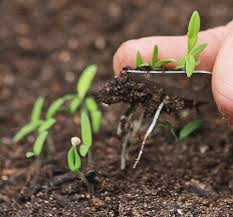 Fall Plants For Vegetable Garden by Plantanswers Plant Answers U003e Direct Seeding Into Garden Soil Of