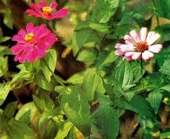 ornamental plant zinnia gardening