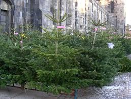 trefhedyn garden centre offer some christmas tree advice welsh