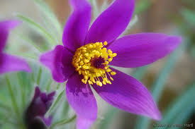 State Flower Of Colorado - south dakota state flower pasque flower