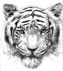 photos sketch image of tiger drawing art gallery