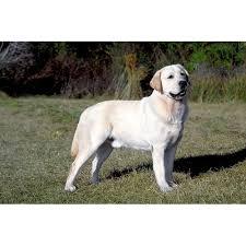 afghan hound and labrador retriever labrador retriever yellow dog breeds dog com
