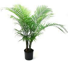 delray plants live majesty palm plant in 10 inch grower pot