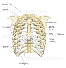 Anatomy Structure Of Human Body Rib Cage Human Anatomy Organs