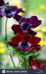 Dark Red Flower - anemone coronaria bordeaux maroon burgundy dark red spring bulbs