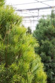 scotch pine christmas tree 4 popular christmas tree types how to decorate them
