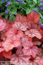 heuchera care and maintenance learn about how to care for heuchera