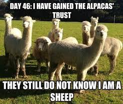 Alpaca Sheep Meme - 170 best for peg images on pinterest llamas alpacas and llama
