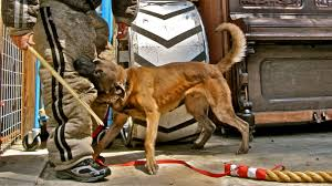 belgian malinois near me note to the american public belgian malinois look don u0027t touch