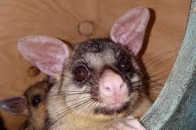 brushtail possum u2013 my wild australia