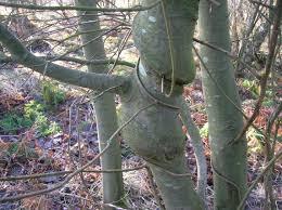 file willow species with honeysuckle woodbine jpg wikimedia commons