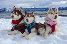 In The Book Of Eli Was He Blind Cat Rescued By 3 Huskies Is Now One Of The Pack Cuteness Overload