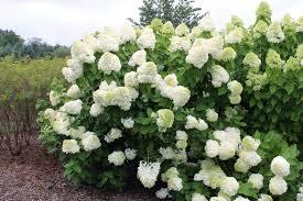 hydrangeas flowers how do i prune hydrangeas in order not to mess up flowering