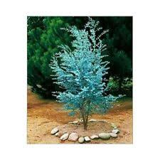 sun evergreen ornamental trees ebay