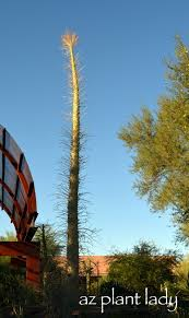 Urban Garden Phoenix - 56 best arizona plants images on pinterest desert plants
