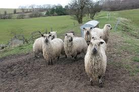 Teeswater sheep