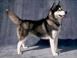 american pitbull terrier vs siberian husky what dog should i get siberian husky or japanese akita