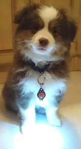 collar light for small dogs amazon com dog light dog collar light bubba s leash light new