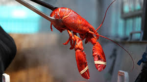 have lobster will travel u2014 and race the clock the salt npr