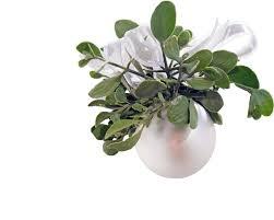 christmas mistletoe buy mistletoe online christmas mistletoe america s