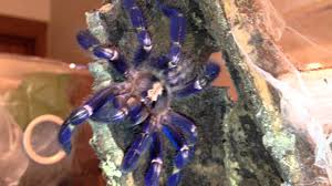 sooo blue poecilotheria metallica gooty saphire ornamental