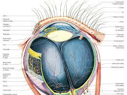 Surface Anatomy Eye Medical Textbook In The Net Eye Anatomy