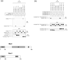 Anti Flag Affinity Gel Nac1 Interacts With The Poz Domain Transcription Factor Miz1