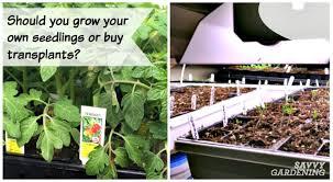 seeds vs transplants should you start from seed or buy transplants